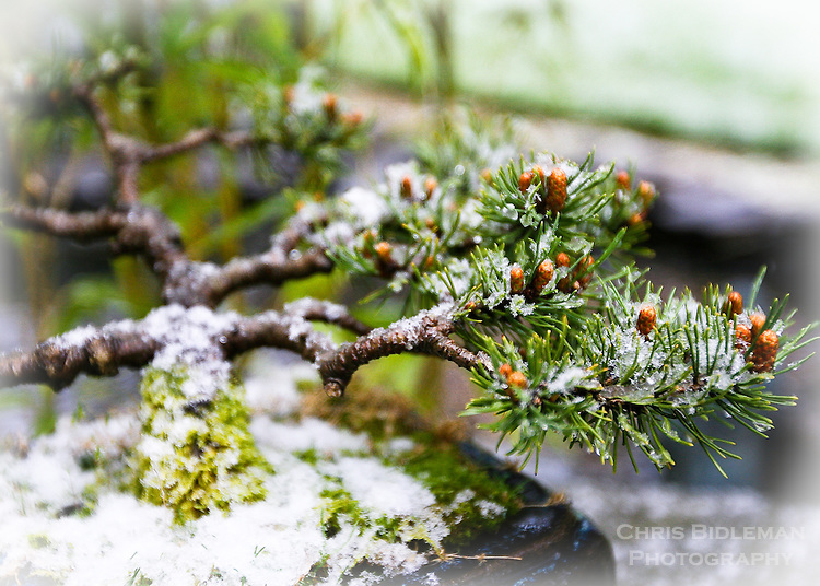 Bonsai Tree in the Winter with fresh fallen snow
