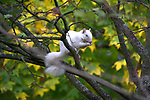 An extremely rare British albino squirrel was spotted by an amateur photographer as it nibbled on acorns while perched on a branch.  The cautious creature was seen by librarian Patrick Galway close to an oak tree, collecting and eating acorns ready to go into hibernation for the winter.<br /> <br /> It is one of only 50 albino squirrels believed to live in Britain, with their white colour caused by an absence of melanin  The small rodent was spotted in the grounds of the University of Portsmouth, Hants, this week, with staff and students affectionately naming him Monty.  SEE OUR COPY FOR DETAILS.<br /> <br /> Please byline: Patrick Galway/Solent News<br /> <br /> © Patrick Galway/Solent News & Photo Agency<br /> UK +44 (0) 2380 458800