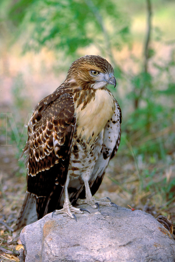 Red-Tailed Hawk, Buteo jamaicensis (Hawks, Accipitridae). This is an immature Red-Tailed Hawk. animals, birds, wildlife, carnivores. Red-Tailed Hawk. Arizona.