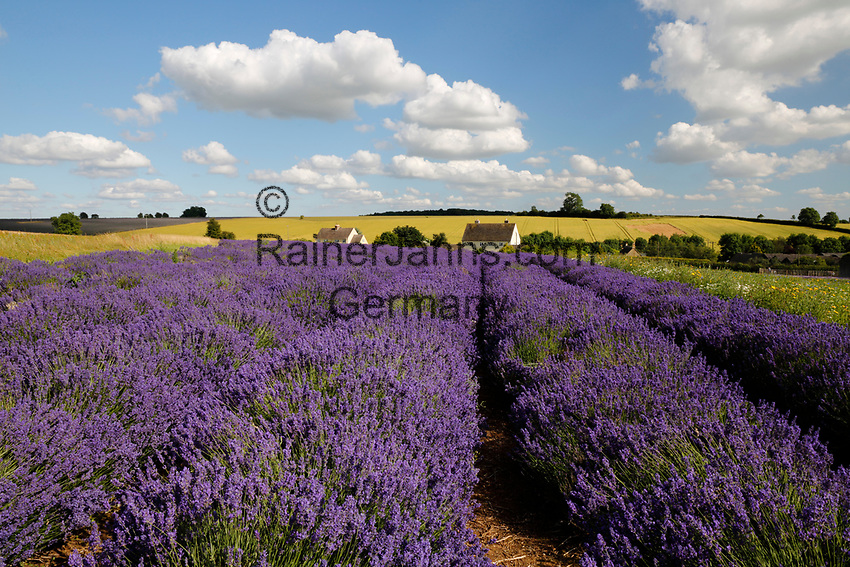 United Kingdom, England, Gloucestershire, Cotswolds, Snowshill: Cotswold Lavender (Lavandula)   Grossbritannien, England, Gloucestershire, Cotswolds, Snowshill: bluehender Cotswold Lavendel (Lavandula)