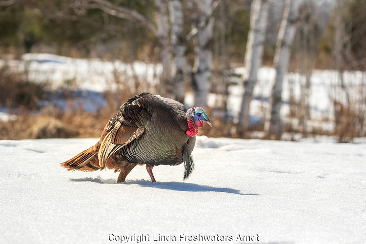 Tom turkey walking in the deep northern Wisconsin snow.