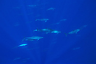 pod of long-snouted spinner dolphins, Stenella longirostris, off Kona Coast, Big Island, Hawaii, Pacific Ocean