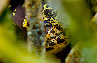 Spotted moray eel, Roatan
