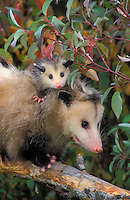 VIRGINIA OPOSSUM - Mom with youngster..Pacific Northwest, North America..Autumn. (Didelphis virginiana).