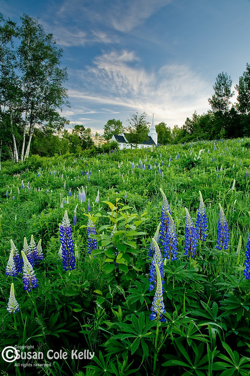 Fields of Lupines adorn Saint Matthews Church in Sugar Hill, NH