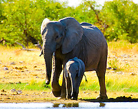 A herd of elephants drinking at a watering hole, Etosha National Park, Namibia