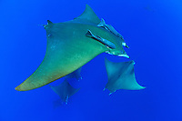 Mobula tarapacana, Kleiner Teufelsrochen, große Schule von Mobulas, Manta,  Devil ray, Devil fish, big school of Manta rays with scuba diver, Azoren, Portugal, Atlantik, Atlantischer Ozean, Azores, Portugal, Atlantic Ocean
