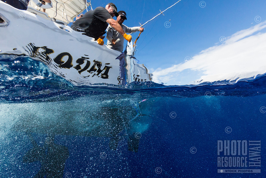 The crew of sport fishing boat Boom Boom pull up their catch, an ono (also known as wahoo), off of Ka'ena Point, O'ahu.