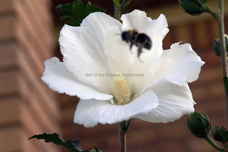 A bumble bee homes in on a Rose of Sharon flower.