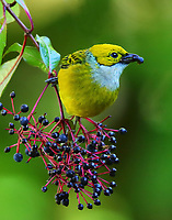 Silver-throated tanager male eating berries