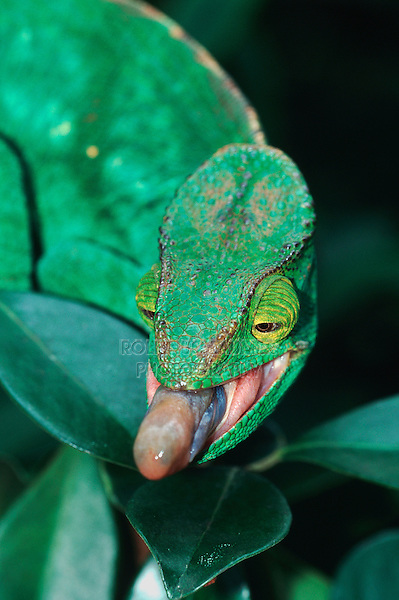 Parson's Giant Chameleon (Calumma parsonii), adult tongue, Madagascar, Africa