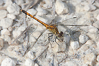 Seaside Dragonlet (Erythrodiplax berenice) Dragonfly - Female, Merritt Island National Wildlife Refuge, Titusville, Brevard County, Florida