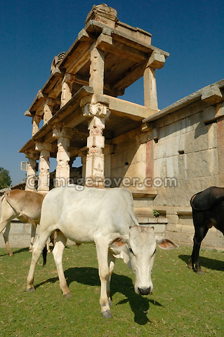 India, Karnataka, Hampi.  Cows grazing on the main road of Hampi, Nandi Butten / Bazaar Street, within the scenic setting of historic buildings.