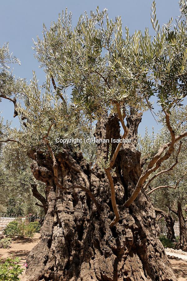 Israel, Jerusalem. Olive tree in the Garden of Gethsemane