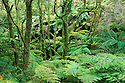 Australia, Victoria, Great Ocean Road, temperate rain forest in Otway Ranges, Southern Beech trees and fern trees