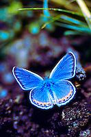 AZURE BLUE BUTTERFLY