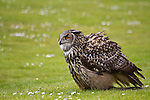 Landing European eagle owl