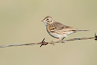 Adult Vesper Sparrow (Pooecetes gramineus) on fence. Southeast Alberta, Canada. May.