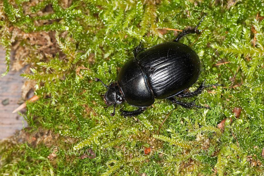 Mistkäfer, Roßkäfer, Rosskäfer, Geotrupes spiniger, dor beetle, Geotrupidae, earth-boring dung beetle, dor beetles