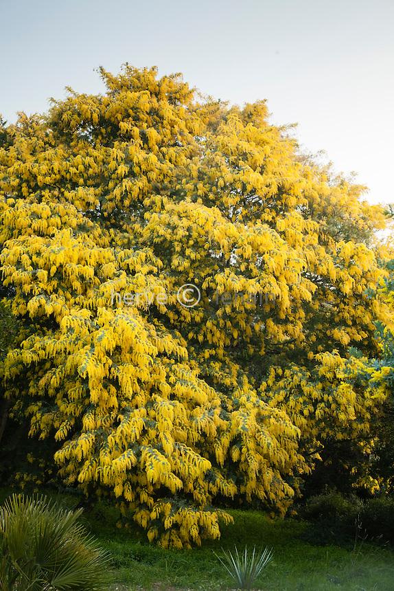 Le domaine du Rayol en f&eacute;vrier :<br /> mimosa de Bailey, Acacia baileyana<br /> <br /> <br /> (mention obligatoire du nom du jardin &amp; pas d'usage publicitaire sans autorisation pr&eacute;alable)
