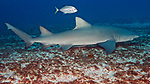 Negaprion brevirostris, Lemon shark, Jupiter, Florida