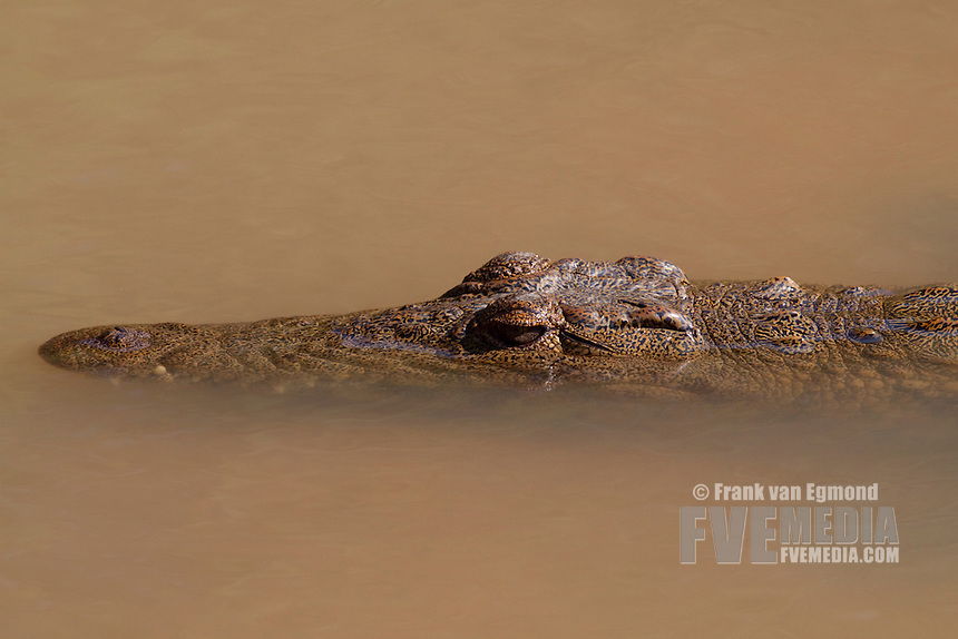 Nile Crocodile (Crocodylus Niloticus)..Partially submerged juveline..Winter, May 2009..Hluhluwe-Imfolozi Game Reserve, Kwazulu Natal, South Africa.