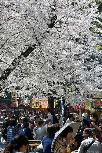 March 30, 2015, Tokyo, Japan - Huge crowd throng Tokyo's Yasukuni Shrine to view cherry blossoms in full bloom on sunny Monday, March 30, 2015, as the nation's capital appreciate their ethereal, ephemeral, delicate beauty in accord with centuries-old tradition.  (Photo by Natsuki Sakai/AFLO)