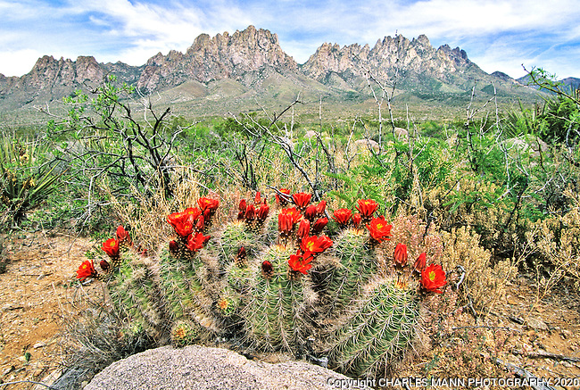 In April and May the bright red flowers of a claret cup cactus, Echinocereus triglochidatus, appear beneath the craggy Organ Mountains in the Chihuahuan Desert near Las Cruces, New Mexico.