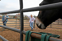 Deb Kidwell watches AMJR PCF Genesis, an American Mammoth Jackstock, eat on Monday, Nov. 22, 2010 at Lake Nowhere Mule and Donkey Farm in Martin, Tenn. Kidwell breeds American Mammoth Jackstock, the only American breed of Ass, and one started by George Washington. The breed, however, is dying off with the mechanization of farm equipment.