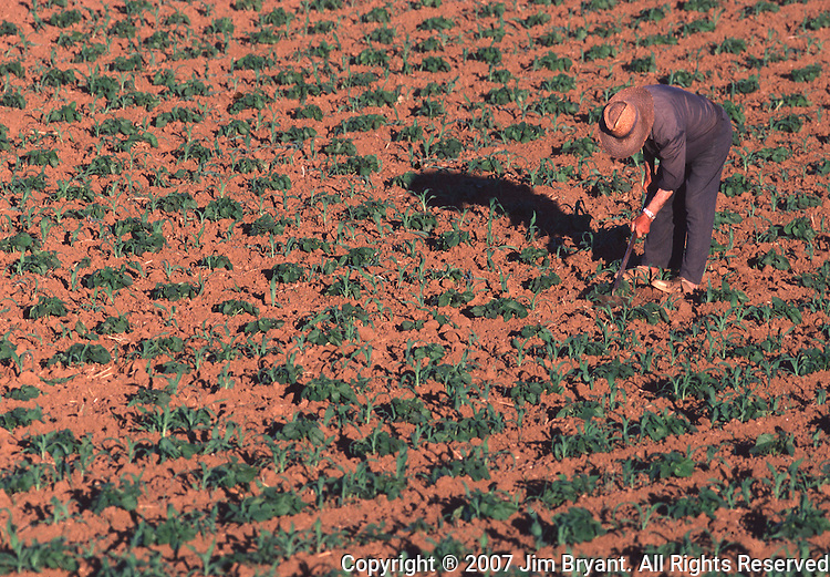A farmer weeds his field onTerceira, Azores. Far out in the Atlantic Ocean, some 850 miles off the western coast of Lisbon, Portugal lies the 425-mile long archipelago of the Azores. (Jim Bryant Photo)....