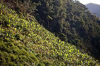 Domingos Martins_ES, Brasil...Plantacao de banana em Domingos Martins, a cidade faz parte da Rota Imperial...The banana plantation in Domingos Martins, this city is part of the Imperial Route...Foto: LEO DRUMOND / NITRO