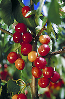 close-up of a bunch of red cherries almost ripe on tree branch. fruit, cherry, food, trees. California.