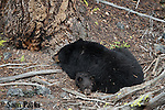 Black bear sow sleeping with young cub. Yellowstone National Park, Wyoming.