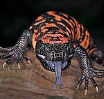 Gila Monster (Heloderma suspectum), captive.