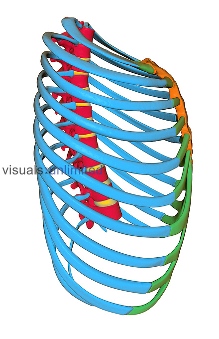 A posterolateral view (right side) of the thoracic cage. The vertebral column, ribs, sternum and intercostal cartilage are highlighted in red, blue, orange and green, respectively. Royalty Free