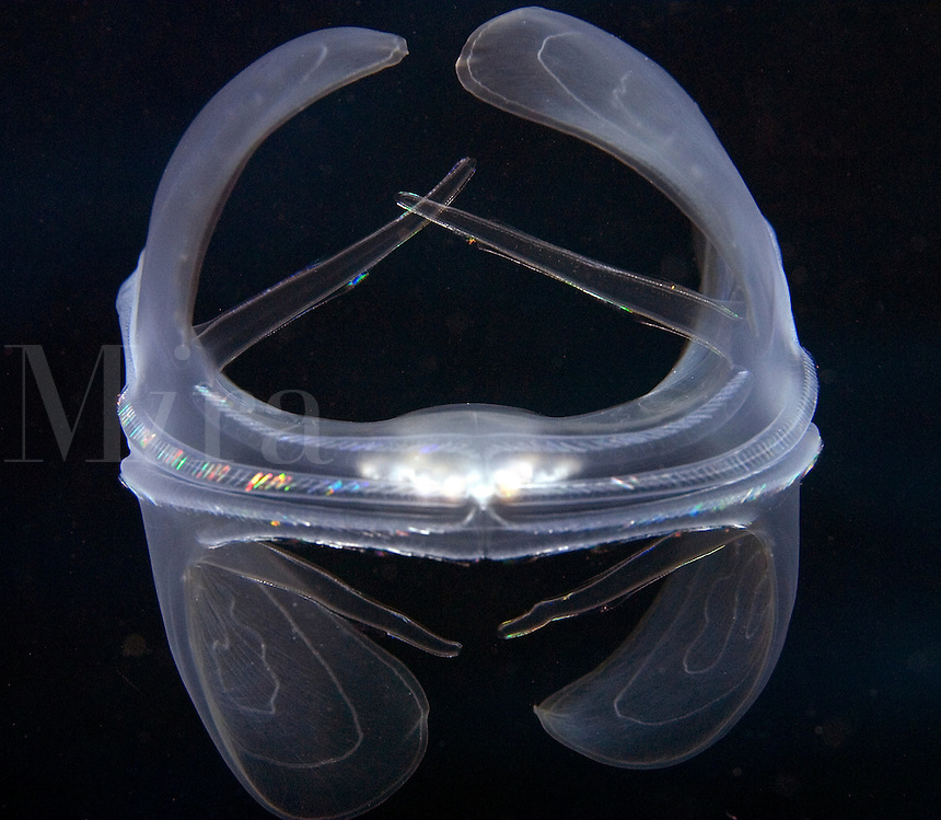 Lobate comb jelly, Ocyropsis maculata, Indonesia.