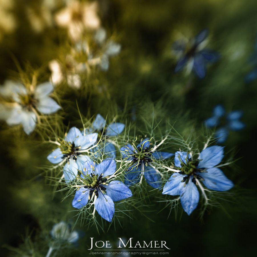 Blue nigella flowers with selective focus.