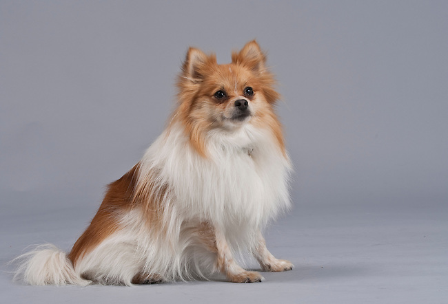 Luxurious red and white Pomeranian sitting calmly on gray background