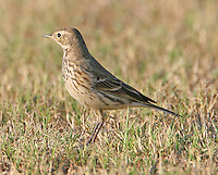 Adult non-breeding American pipit, part of a large flock feeding in a field at Anzalduas County Park on Rio Grande River