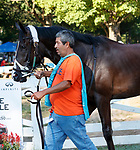 Swamp Rat enters the paddock as Opry (no. 8) wins the With Anticipation  Stakes (Grade 3), Aug. 29, 2018 at the Saratoga Race Course, Saratoga Springs, NY.  Ridden by  Javier Castellano, and trained by Todd Pletcher, Opry finished 1 1/2 lengths in front of Somelikeithotbrown (No. 7).  (Bruce Dudek/Eclipse Sportswire)