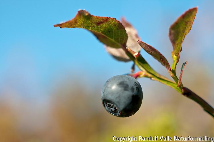 Blåbær (Vaccinium myrtillus) ---- Bluberry (Vaccinium myrtillus)