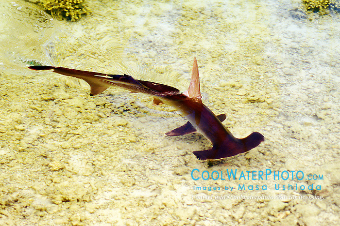 scalloped hammerhead shark, Sphyrna lewini, juvenile, Oahu, Hawaii, Pacific Ocean (c)