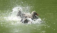 Enten im Weiher des Haustierpark - Werdum 24.07.2020: Haustierpark Werdum