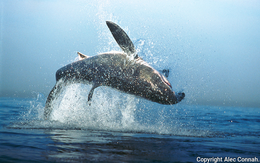 Breaching Great White shark, False Bay, South Africa.