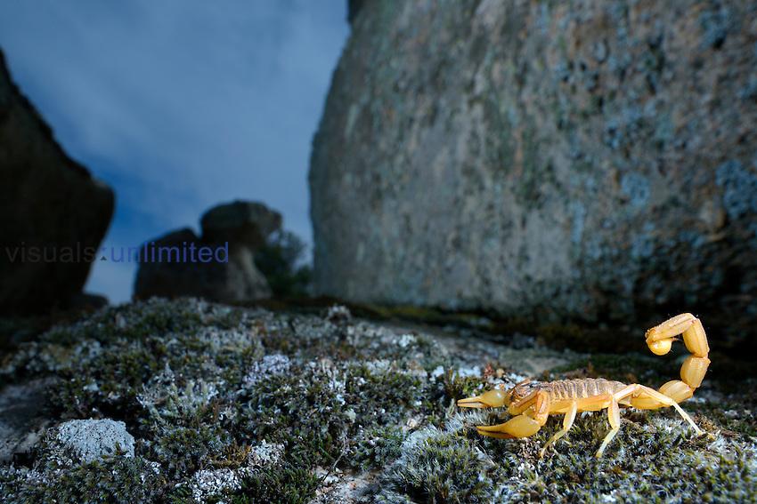 Yellow Scorpion (Butus occitanus), Castilla La Mancha, Spain