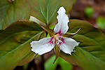 Painted Trillium  (Trillium undulatum) in Hancock County, Downeast, ME, USA