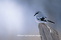 01421-01015 Loggerhead Shrike (Lanius ludovicianus) on fence post in winter, Marion Co.   IL