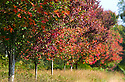 14/09/14 <br /> <br /> Nineteen years ago hundreds of maple tree saplings were planted to commemorate fallen Canadian soldiers. This year, as the trees begin to reach maturity, their spectacular autumn hues are putting on a stunning show.<br /> <br /> The trees were planted to replace 219 sycamore trees first planted at Bramshott, Hampshire close to where 418 Canadian servicemen died in the First World War. <br /> <br /> The original trees, that lined the A3, London to Portsmouth road, became unsafe and were felled in the late 1980s.<br /> <br /> Many Canadian soldiers were based at barracks in Bramshott during both wars. A hospital at the barracks treated wounded soldiers returning from The Western Front. 318 of those who succumbed to their injuries or died from the Spanish Flu, were buried in St Mary&rsquo;s Church in Bramshott.<br /> <br /> All Rights Reserved - F Stop Press.  www.fstoppress.com. Tel: +44 (0)1335 300098