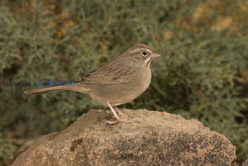 Rufous-crowned Sparrow (Aimophila ruficeps) perched on a rock, Arizona, USA.