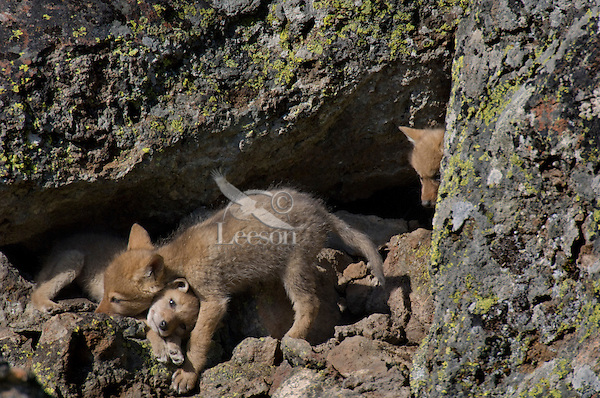 Wild Coyotes (Canis latrans) pups at entrance to their den--den is under boulder on right.  Western U.S., June.
